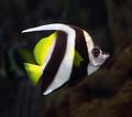 pennant coralfish underwater - PhotoDune Item for Sale