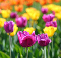 blooming different color tulips - PhotoDune Item for Sale