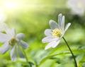 white anemone flower macro - PhotoDune Item for Sale
