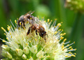 bees on flower of onion - macro shot - PhotoDune Item for Sale