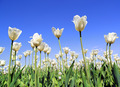 field of white tulips blooming - PhotoDune Item for Sale