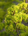 young maple leaves in spring bloom - PhotoDune Item for Sale