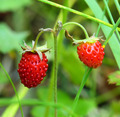 ripe berries of wild strawberry - macro - PhotoDune Item for Sale