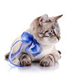 Striped cat with a blue bow. - PhotoDune Item for Sale
