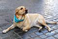 Labrador Retriever - PhotoDune Item for Sale