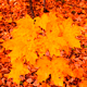 Forest Autumn Maple 6 - VideoHive Item for Sale