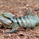 Australian Eastern Water Dragon - PhotoDune Item for Sale