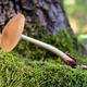 xerula radicata mushroom - PhotoDune Item for Sale