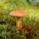 lactarius volemus mushroom - PhotoDune Item for Sale
