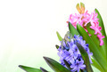 Pink hyacinth on white background closeup - PhotoDune Item for Sale