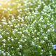 White flower grass in the nature. - PhotoDune Item for Sale