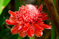 beautiful tropical red ginger flower - PhotoDune Item for Sale