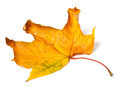 Yellow dried autumn maple-leaf on white background - PhotoDune Item for Sale