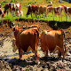 Cows in the Pond - VideoHive Item for Sale