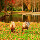 Geese in the Autumn Park - VideoHive Item for Sale