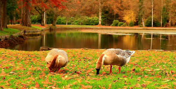 Geese in the Autumn Park