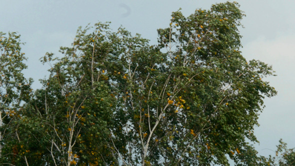 Trees In Strong Wind Under Storm Sky 2