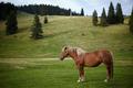 Brown horse - PhotoDune Item for Sale