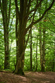 Beech forest - PhotoDune Item for Sale