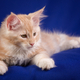 Kitten pet cat - PhotoDune Item for Sale