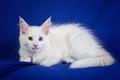 Kitten pet cat - PhotoDune Item for Sale