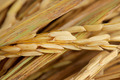 rice grains - PhotoDune Item for Sale