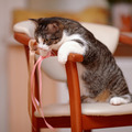 Striped with white the cat sits on a chair. - PhotoDune Item for Sale