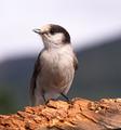 Grey Jay Whiskey Jack Bird Watching Animal Wildlife - PhotoDune Item for Sale