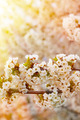 White flowers of the cherry blossoms - PhotoDune Item for Sale