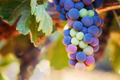 Wine Grapes Ripening - PhotoDune Item for Sale