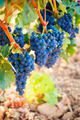 Bunches of ripe grapes - PhotoDune Item for Sale