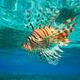 Lion Fish - PhotoDune Item for Sale