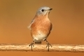 Eastern Bluebird - PhotoDune Item for Sale