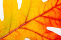 Autumn Oak Leaf Macro - PhotoDune Item for Sale