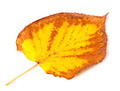 Yellowed dry autumn leaf - PhotoDune Item for Sale