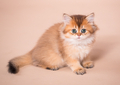 British shorthair cat - PhotoDune Item for Sale
