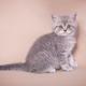 British shorthair cat - PhotoDune Item for Sale