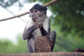 Sooty mangabey with a clod of earth - PhotoDune Item for Sale