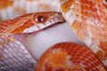 corn snake - PhotoDune Item for Sale