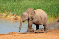 Baby elephant at waterhole - PhotoDune Item for Sale