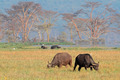 Grazing African buffaloes - PhotoDune Item for Sale