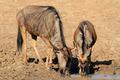 Wildebeest drinking water - PhotoDune Item for Sale