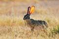 Scrub hare - PhotoDune Item for Sale