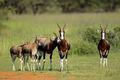 Bontebok antelopes - PhotoDune Item for Sale