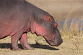Hippopotamus - PhotoDune Item for Sale
