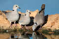 Cape turtle doves - PhotoDune Item for Sale