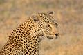 Leopard portrait - PhotoDune Item for Sale