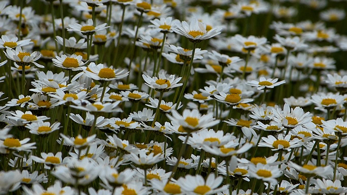Daisies (Leucanthemum Maximum)