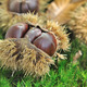 chestnuts on the soil - PhotoDune Item for Sale