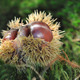 chestnuts on the soil in forest  - PhotoDune Item for Sale